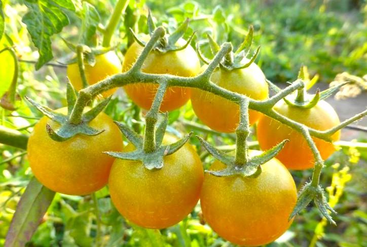 Il piennolo giallo del Cilento, nel tipico pomodoro una